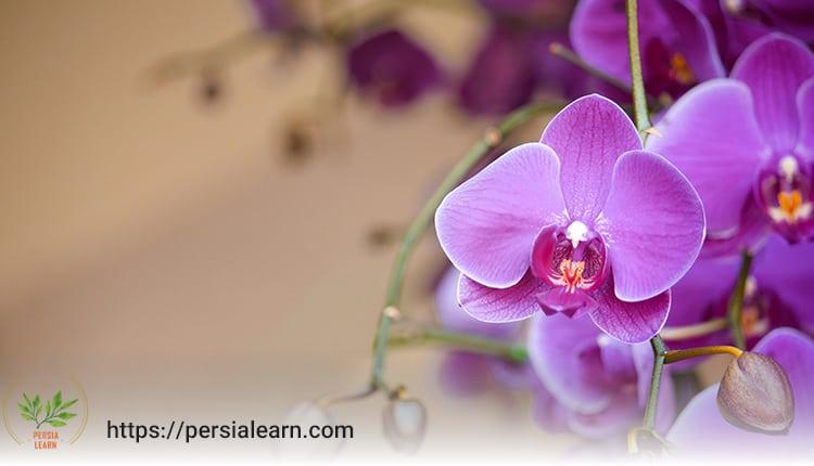 گل ارکیده نماد چیست