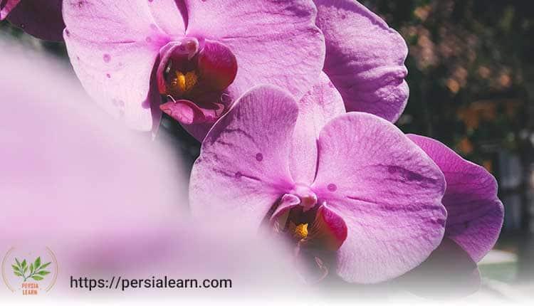 گل ارکیده فالانوپسیس