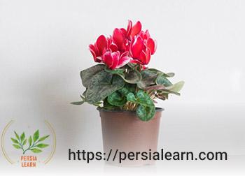 گل قرمز سیکلامن