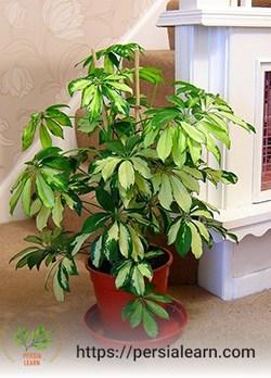 گیاه آپارتمانی شفلرا