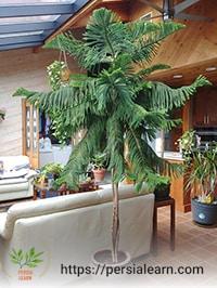 گیاه آپارتمانی کاج مطبق