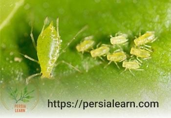 درمان شته گیاهان آپارتمانی