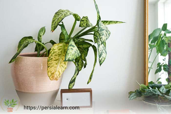 علت زردی برگ گیاهان آپارتمانی