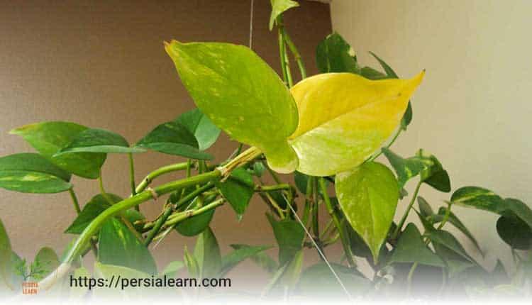 چگونه عدم سازگاری گیاه با شرایط خانه سبب زرد شدن برگ گیاهان می شود؟