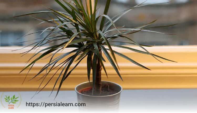 دراسینا مارگیناتا از دیگر گیاهان مناسب سرویس بهداشتی