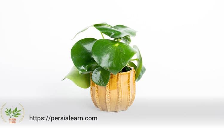 راهنمای نگهداری گیاه پپرومیا در خانه