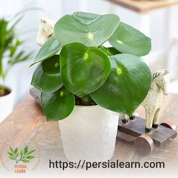 نگهداری گیاه پپرومیا