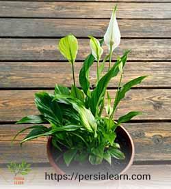 دلیل سبز شدن گل اسپاتی فیلوم